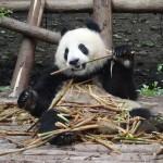 Chengdu et ses pandas géants
