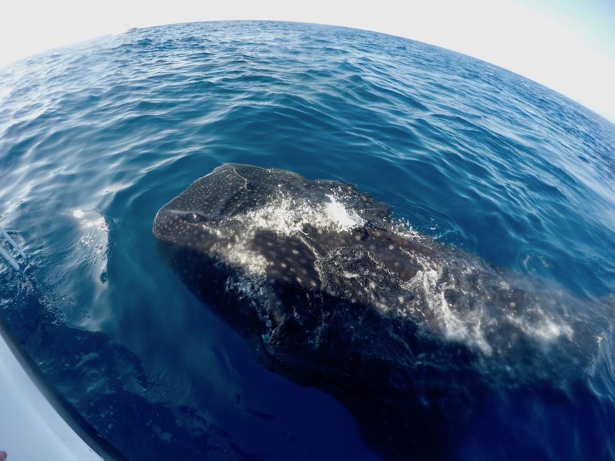 Requin baleine Isla Mujeres