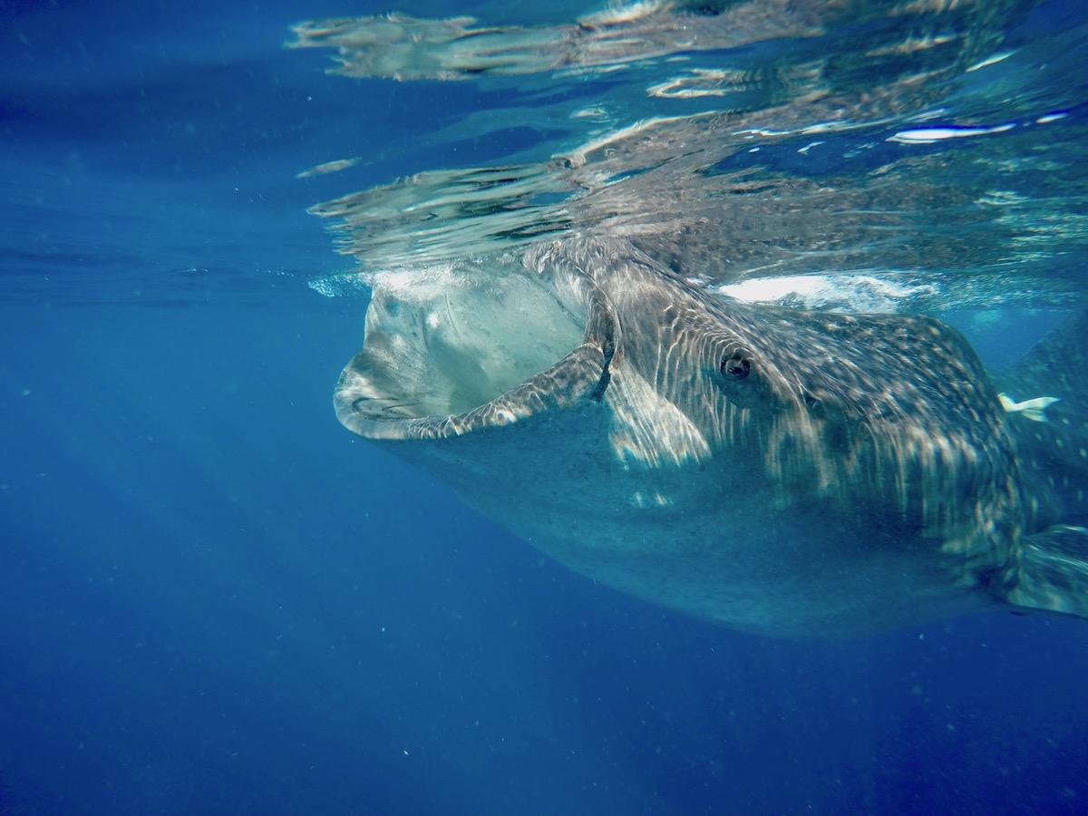 Requin Baleine - Isla Mujeres - Yucatan