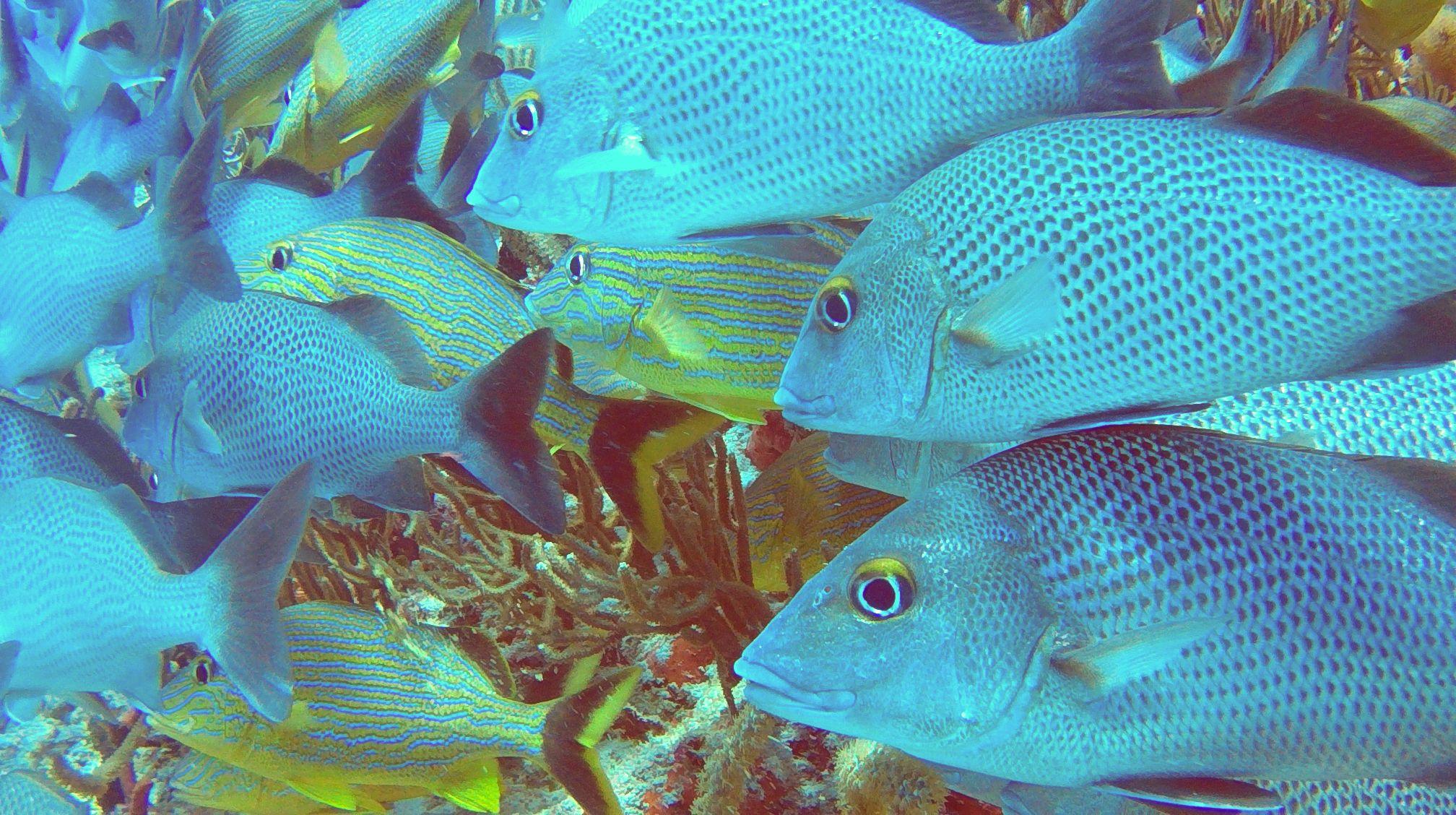 banc-de-poissons-Playa-del-Cramen